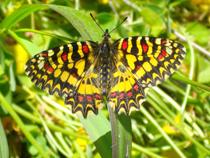 mariposa arlequin