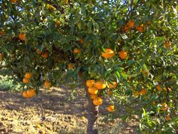 huerta guadalhorce mandarino