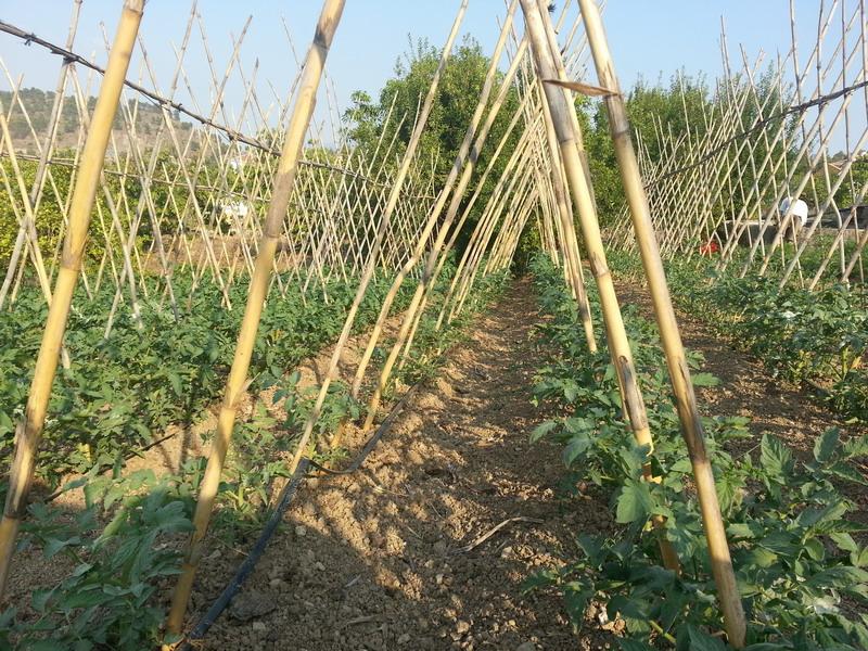 Tweet for Asociacion de cultivos tomate
